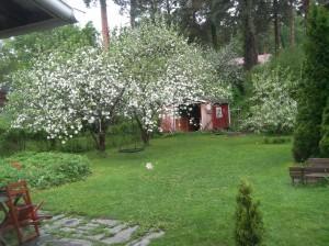 Rahkoilankatu34_piha_omenapuun_kukkiessa