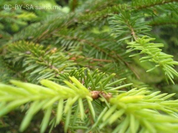 kuusen-vihrea-vuosikasvu